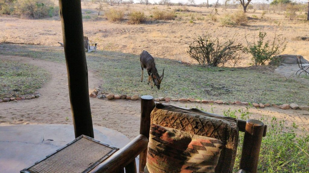 Nyala's are roaming freely around the camp at Motswari Private