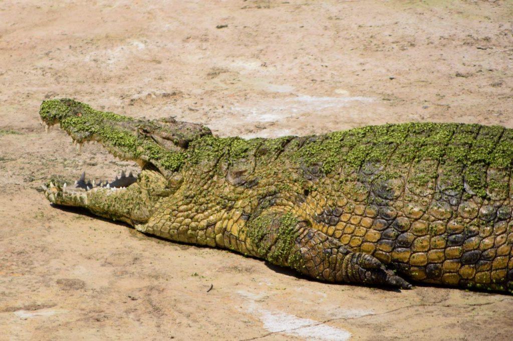 A nile crocodile at Le Bonheur, Franschhoek