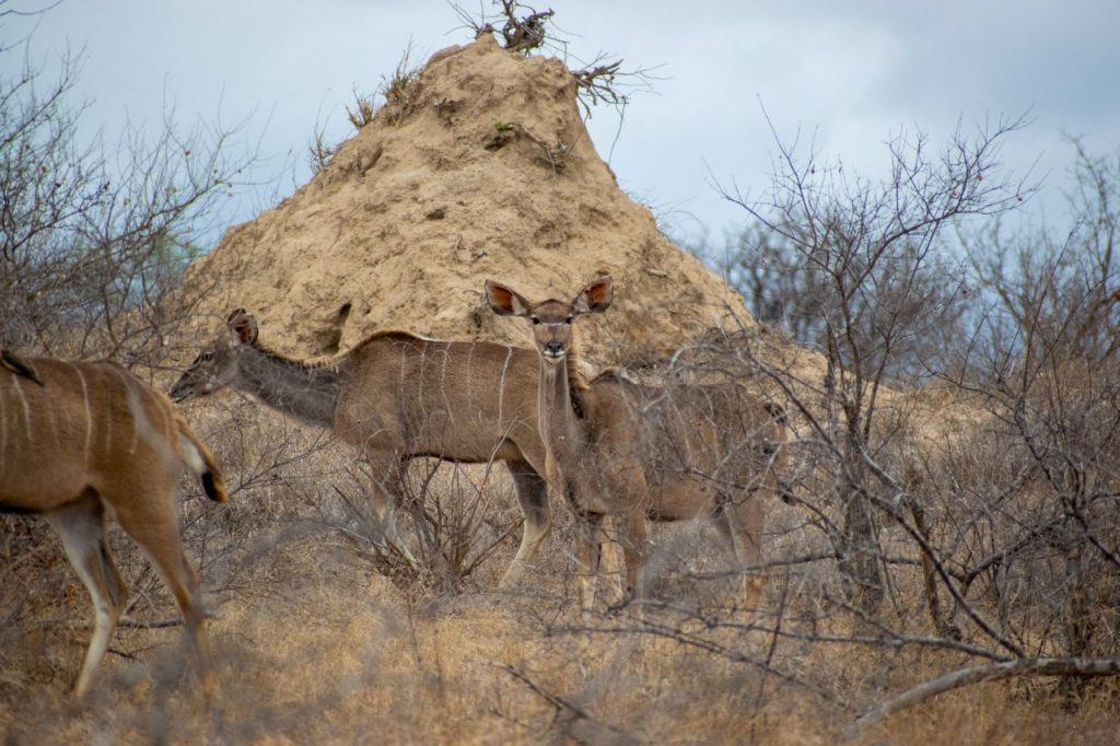 Herd of greater Kudu females