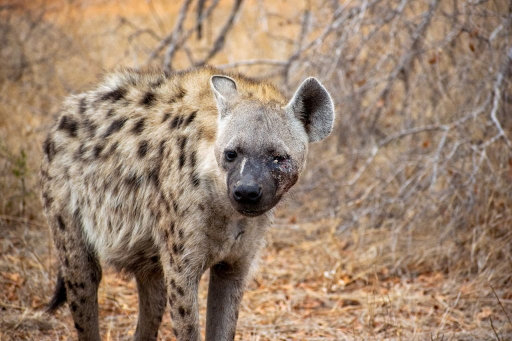 A hyena with a freshly scared face