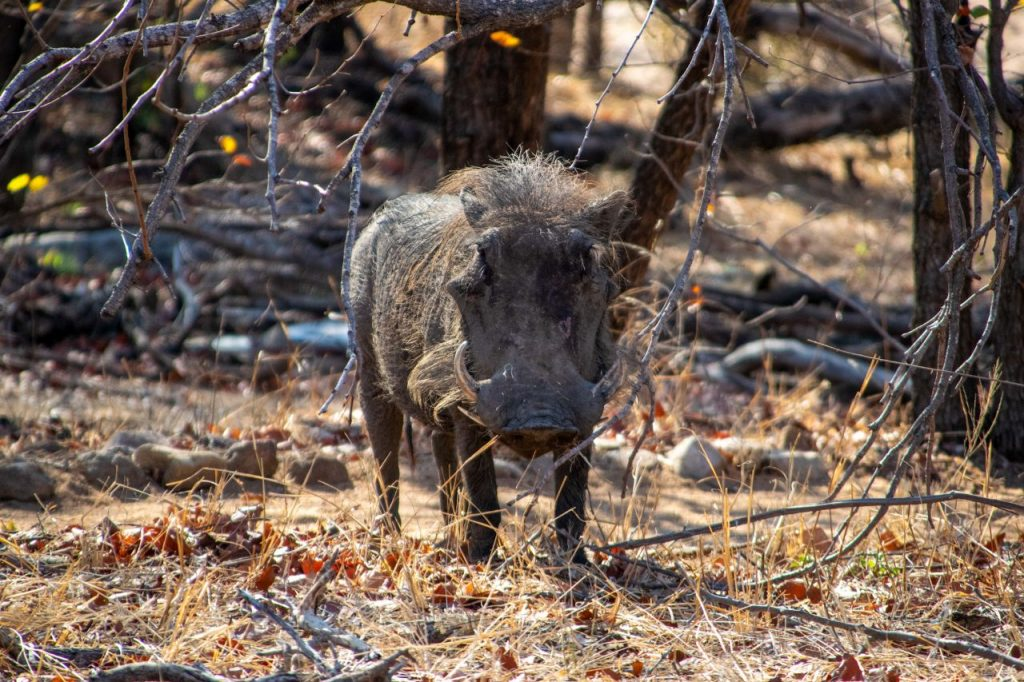 Female warthog walking through the camp at Motswari Private