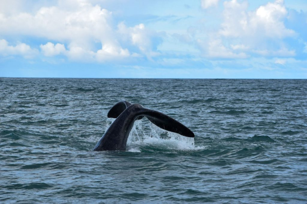 Whale hitting the water at Hermanus